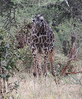 Apparently Neckless Giraffe seen by Wild Nature Institute Scientists