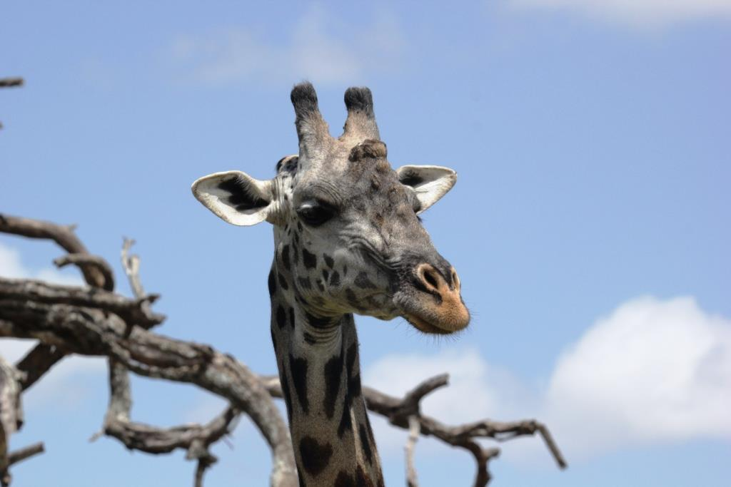 Masai giraffe, Wild Nature Institute