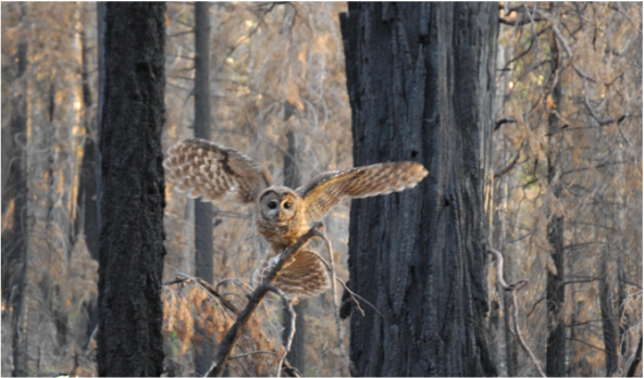 Picture of Female owl in burn. Photo by Rachel Fazio
