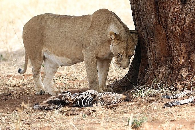 Picture of lioness with dead zebra foal. Wild Nature Institute.