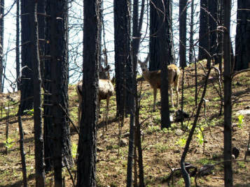 deer in a beautiful burned forest, Wild Nature Institute