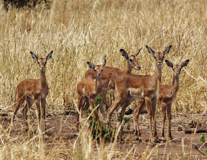Wet baby impalas after a downpour, Wild Nature Institute