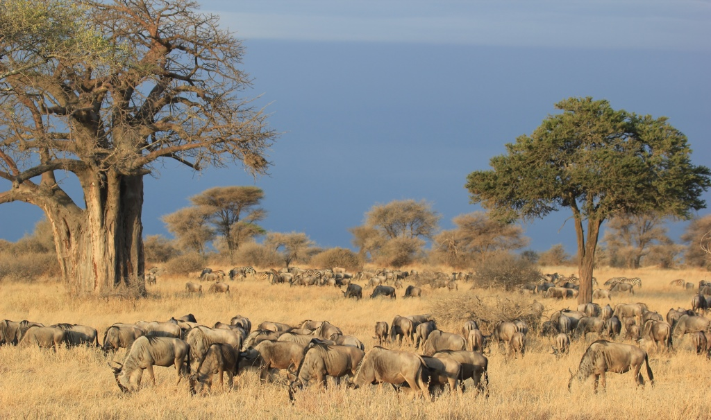 Tarangire wildebeest migration, Wild Nature Institute