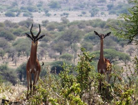 Gerenuk, Wild Nature Institute