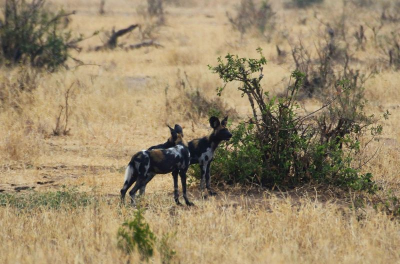 African Wild Dog, Wild Nature Institute