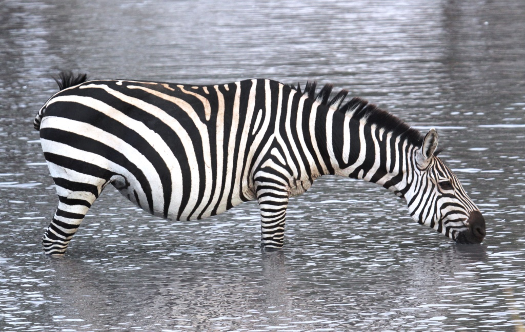 Tarangire zebra migration, Wild Nature Institute