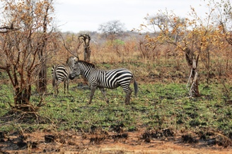 zebra in burned grass regrowth, Wild Nature Institute