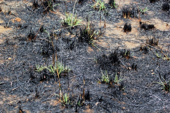 burned grass regrowing, Wild Nature Institute