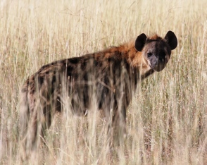 spotted hyena, Wild Nature Institute