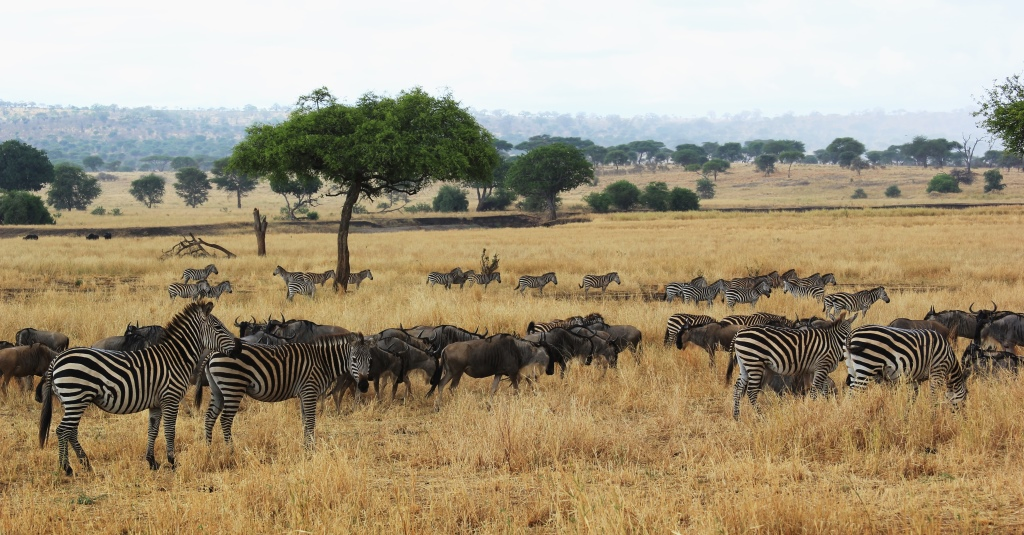 Burchell's zebras and eastern white-bearded wildebeests in Tarangire National Park, Wild Nature Institute