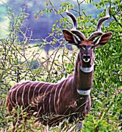 Lesser Kudu seen during Wild Nature Institute Tarangire Ungulate Observatory Survey