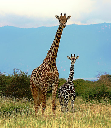 Masai giraffe mother and calf in Wild Nature Institute's Tarangire research site